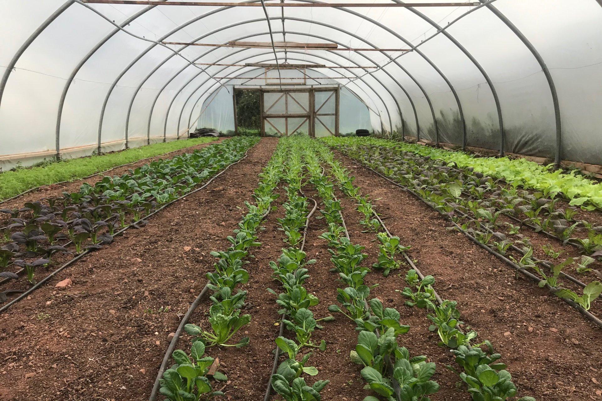 Shillingford Organics Polytunnel